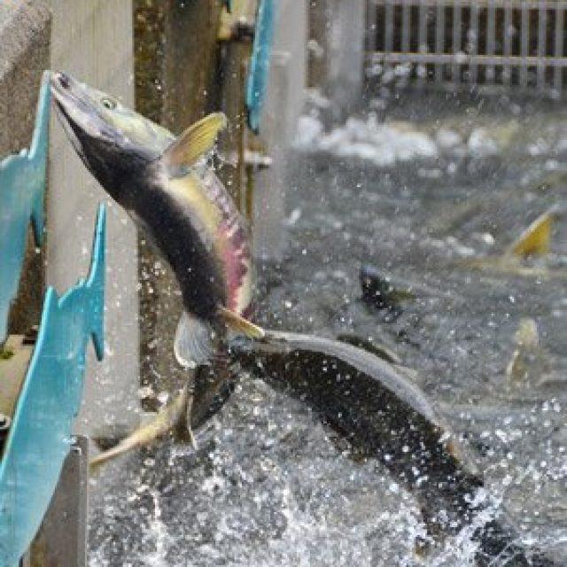 Macauley Salmon Hatchery
