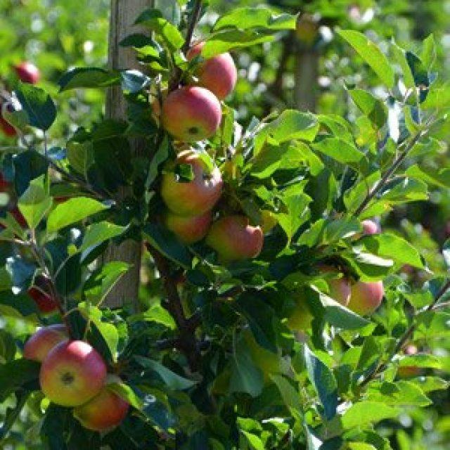 Hardanger fruit