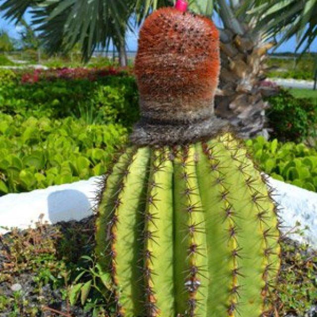 Grand Turk Cactus
